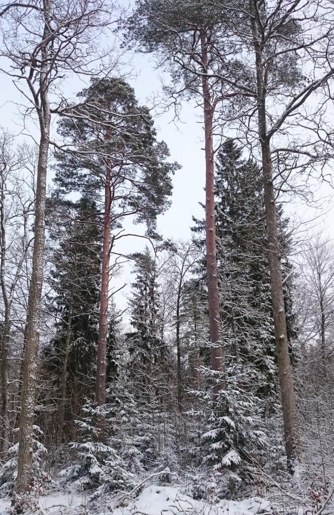 Blandskog snow3